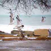 Gulls at Bradford Beach in January