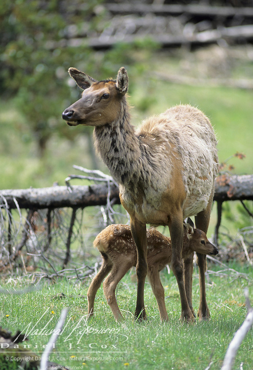 Elk (Cervus canadensis) cow and newborn calf during springtime in Yellowstone National Park.