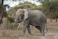 Elephant in east African habitat