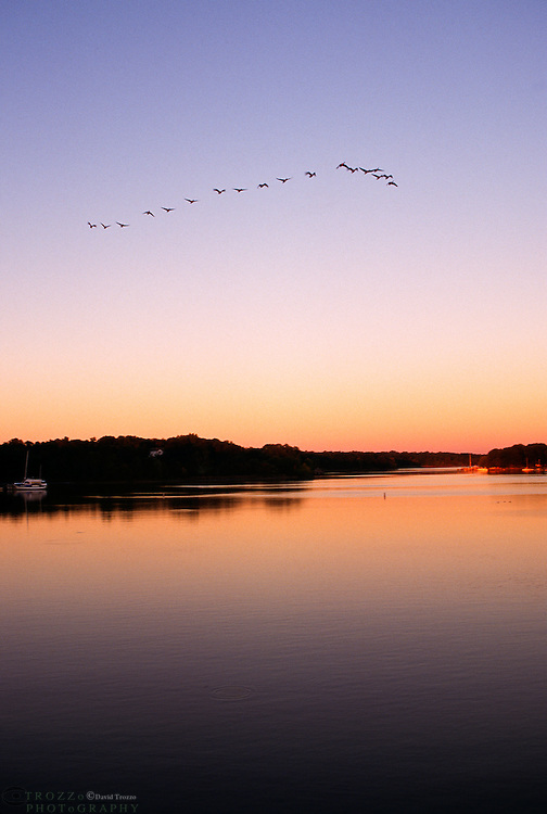 Canada Geese take flight along the Sassafras River in Georgetown Maryland. The Sassafras River is a tributary of the Chesapeake Bay on Maryland's Eastern Shore.