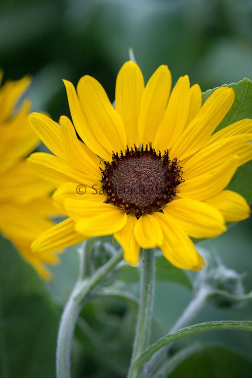 Helianthus argophyllus 'Gold & Silver' - silver-leaf sunflower
