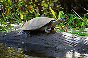 Water Turtle, Photographed in Pampas, Bolivia