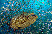 Goliath Grouper, Epinephelus itajara, surrounded by Cigar Minnows, Decapterus punctatus, on the Zion shipwreck offshore Jupiter, Florida, United States