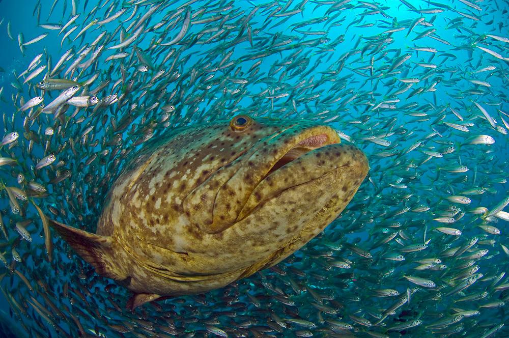 Goliath Grouper, Epinephelus itajara, surrounded by Cigar Minnows, Decapterus punctatus, on the Zion shipwreck offshore Jupiter, Florida, United States
