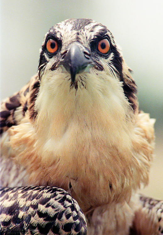 Portrait of an osprey chick, Pandion haliaetus, also known as seahawk, fish hawk or fish eagle, is a medium-large fish-eating bird of prey or raptor.