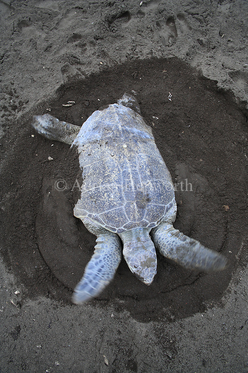 Female Olive Ridley Turtle (Lepidochelys olivacea) burying eggs during arribada. Ostional Beach, Guanacaste, Costa Rica. <br />