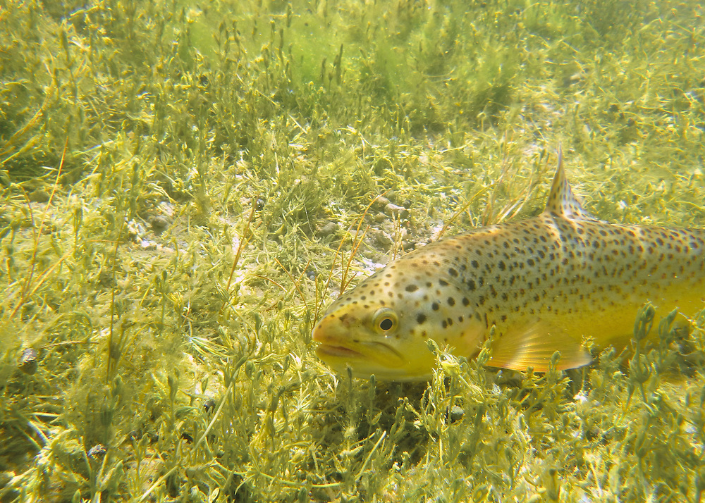 A brown trout sits on a creek bottom, hiding in the weeds. Silver Creek, Idaho.