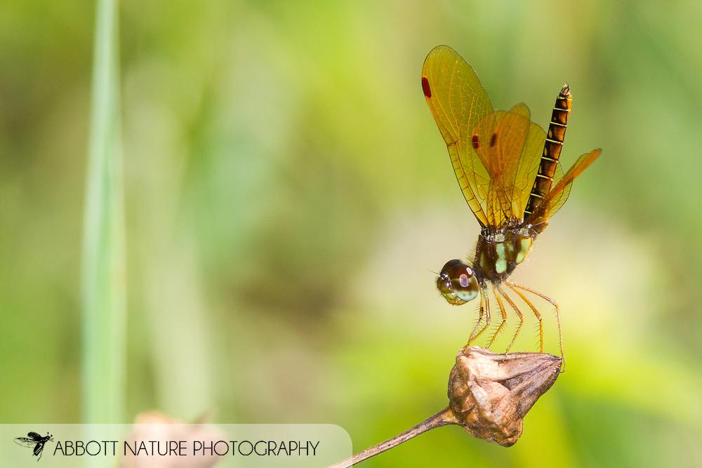 Eastern Amberwing (Perithemis tenera) - male<br /> United States: Alabama: Tuscaloosa Co.<br /> Tulip Tree Springs off Echola Rd.; Elrod<br /> 30-Aug-2016<br /> J.C. Abbott #2861
