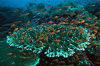 Reef view with hard corals (Acropora sp.) and schools of Slender Anthias (Luzonichthys waitei) and Lyretail Anthias (Pseudanthias squamipinnis) hovering over the reef.  All these fish can find hiding places on the reef if a predator comes by..Vatu-i-Ra, Fiji.