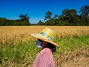 "08 DECEMBER 2015 - KO WAI, NAKHON NAYOK, THAILAND: A woman walks through her rice paddy during the rice harvest in Nakhon Nayok province, about two hours north of Bangkok. Thai agricultural officials expect rice prices to go up by as much as 15% as global production of rice is cut by the Pacific Ocean El Niño weather pattern. Thailand's rice production is expected to drop in the coming year. Persistent drought has reduced the main crop, currently being harvested, and the military government has ordered farmers not to plant a second crop of ""dry season"" rice to conserve Thailand's dwindling supply of water. Thailand's water reservoirs are at their lowest seasonal levels in recent memory and little rain is expected during the dry season, which lasts until June.    PHOTO BY JACK KURTZ"