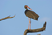 Black Stork.Ciconia nigra.near Satara camp,.Kruger National Park,.Mpumalanga Province,.South Africa.14 January 2006