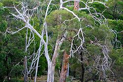 AUSTRALIA VICTORIA 11FEB08 - Trees near Lake Bellfield, an artificially constructed water reservoir in the outbacks of Victoria, Australia...jre/Photo by Jiri Rezac..© Jiri Rezac 2008..Contact: +44 (0) 7050 110 417.Mobile:  +44 (0) 7801 337 683.Office:  +44 (0) 20 8968 9635..Email:   jiri@jirirezac.com.Web:    www.jirirezac.com..© All images Jiri Rezac 2007 - All rights reserved.