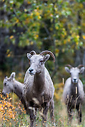 Group of 3 female bighorn sheep in Glacier National Park, Montana.