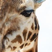 NLD/Arnhem/20180420 - Giraffen in Burgers Zoo Arnhem eten een tak