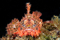 Papuan Scorpionfish.Shot in West Papua Province, Indonesia