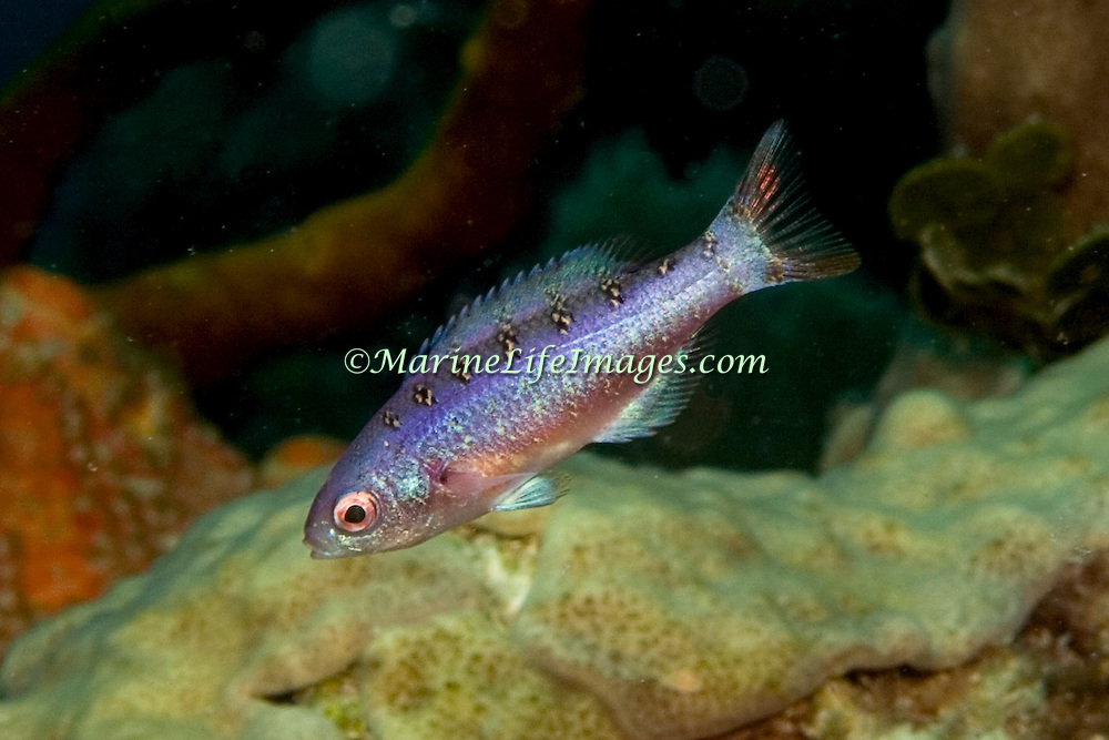 Creol Wrasse commonly swim in groups in the open water above deep reefs and especially along the edge of walls and dropoffs in the Tropical West Atlantic; picture taken Utila, Honduras.