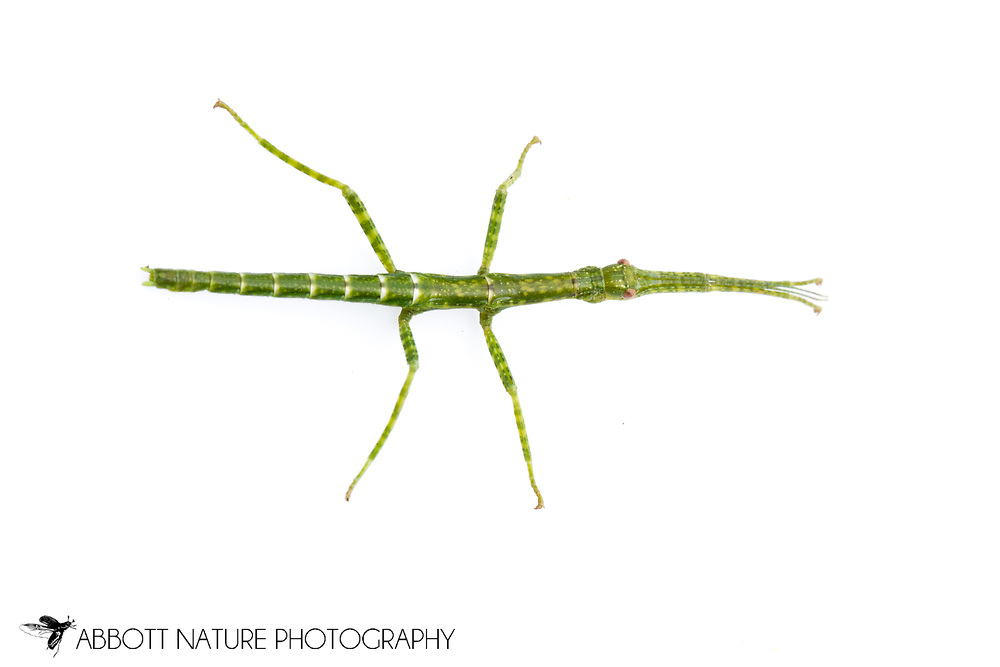 Giant Walking Stick (Megaphasma denticrus) - nymph<br /> TEXAS: Travis Co.<br /> Austin<br /> 2012 (reared in laboratory)<br /> J.C. Abbott &amp; K.K. Abbott