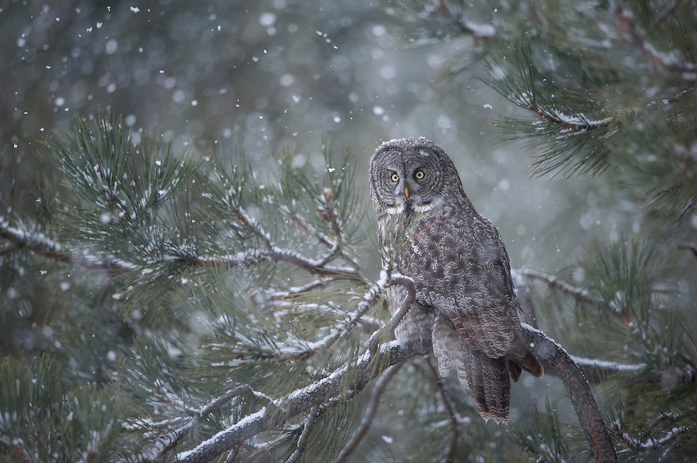 A great gray owl (Strix nebulosa) in snowfall, Missoula, Montana
