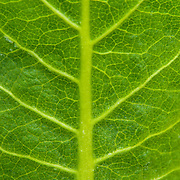A close-up picture of an Arrowleaf Balsamroot leaf. In this picture of Balsamorhiza sagittata the vein structure of the leaf is clearly visible.