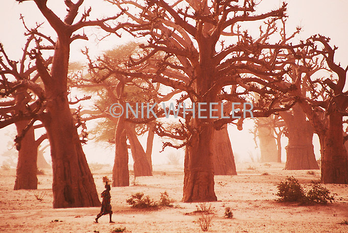 Baobab trees in desert of Senegal, West Africa