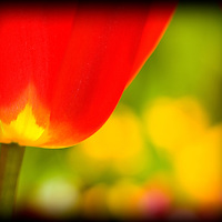 Tulip, Tulips, Flower, Flowers, Red, Yellow, Close up, macro