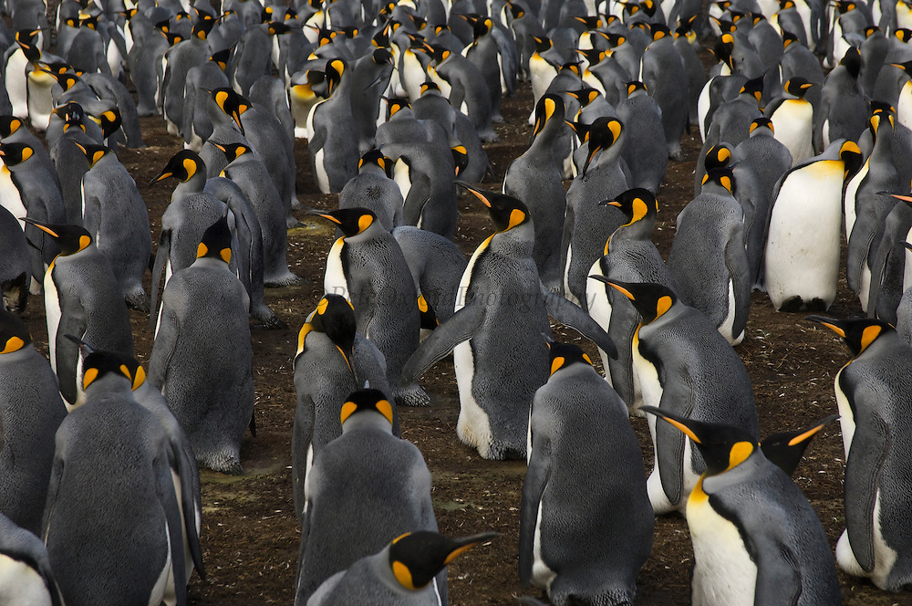King Penguin Colony (Aptenodytes p. patagonica).<br /> Volunteer Point, Johnson's Harbour, East Falkland Island. FALKLAND ISLANDS.<br /> RANGE: Circumpolar, breeding on Subantarctic Islands. Extensive colonies found in South Georgia, Marion, Crozet, Kerguelen and Macquarie Islands. The Falklands represent its most northerly range. They are highly gregarious which probably accounts for it common association with colonies of Gentoo Penguins.<br /> King Penguins are the largest and most colourful penguins found in the Falklands. They have a unique breeding cycle. The incubation of one egg lasts for 54-55 days and chick rearing 11-12 months. As the complete cycle takes more than one year a pair will generally only breed twice in three years.