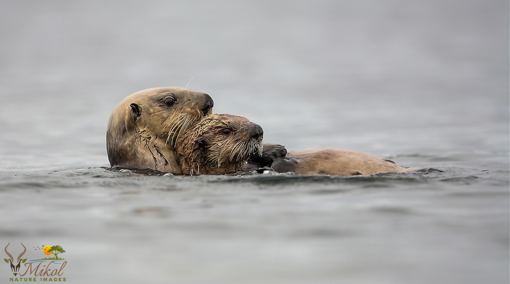 mother sea otter holding pup and swimming