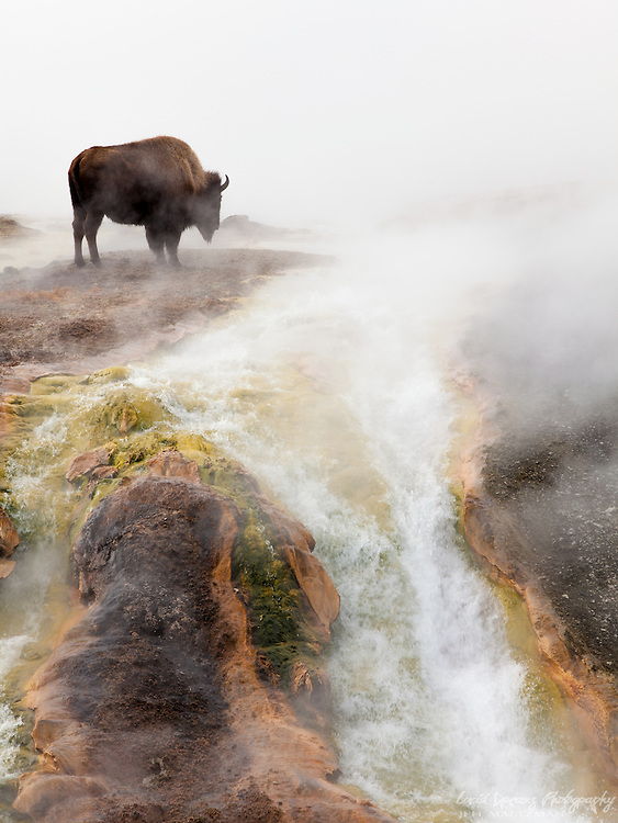 Bison slowly stroll across the thermals at Grand Prismatic Spring in Yellowstone, staying warm on a cold winter morning, as steam rises all around.