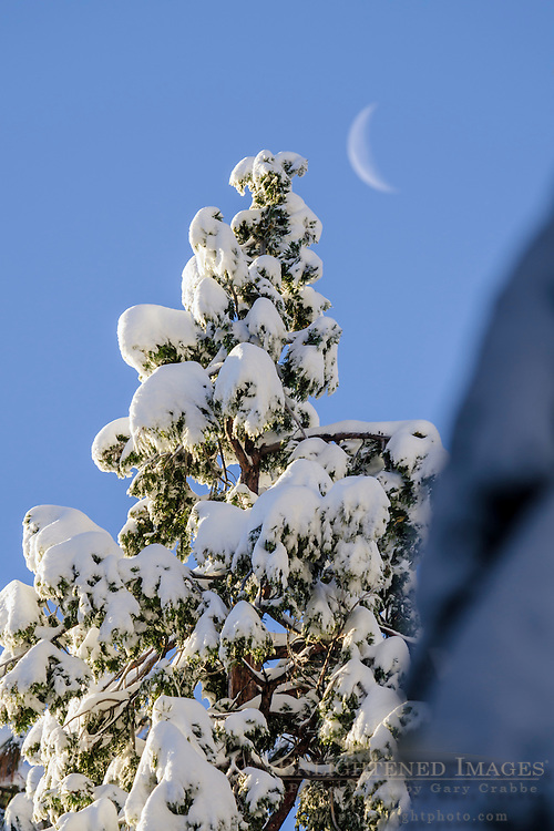 Crescent moon and fresh fallen snow on trees in winter, Dorrington, Calaveras County, California
