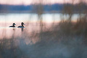 Ring-necked Ducks, Aythya collaris, male & female, Saginaw Bay, Michigan