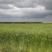Nederland Zaamslag gemeente Terneuzen  19 juni 2010 20100619       ..Serie landschappen provincie Zeeland. Zeeuws-Vlaanderen, polderlandschap landschap veld bloemetjes Juffertje in het groen, nigella. field with flowers ,  weersomstandigheden, wei, weide, weidebloem, weidebloemen, weidegang, weiland, weiland. Landscape, wijdheid, wijds, wijdsheid, wit, witte, wolk, wolken, wolkenpartij, zeeland, zeeuws vlaanderen, zeeuws-vlaanderen, zo vrij als een vogel, zware, zwitserleven gevoel ..Foto: David Rozing
