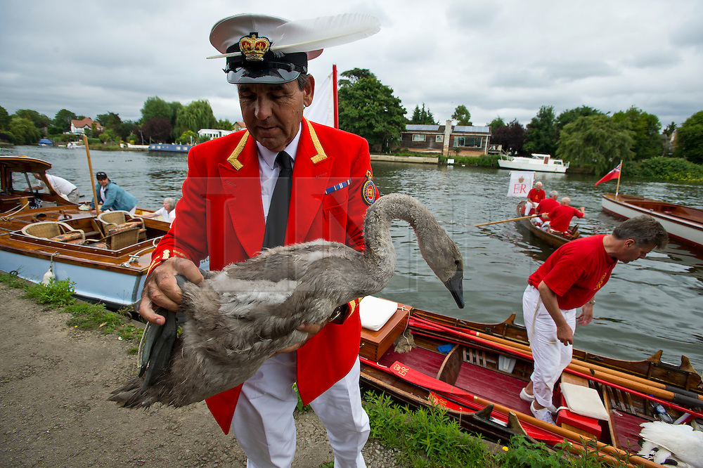 © Licensed to London News Pictures. 20/07/2015. David Barber, The Queen's Swan Marker holds a cygnet. Swan Upping takes place on the River Thames near Windsor, Berkshire, UK. The annual event dates from medieval times, when The Crown claimed ownership of all mute swans which were considered an important food source for banquets and feasts. Today, the cygnets are weighed and measured to obtain estimates of growth rates and the birds are examined for any sign of injury, commonly caused by fishing hook and line. The cygnets are ringed with individual identification numbers by The Queen's Swan Warden, whose role is scientific and non-ceremonial. The Queen's Swan Marker produces an annual report after Swan Upping detailing the number of swans, broods and cygnets counted during the week. Photo credit: Ben Cawthra/LNP