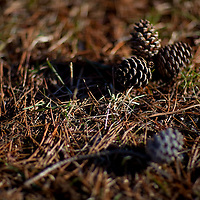 Small pine cones on ground at Allaire State Park New Jersey