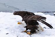 Bald Eagle (Haliaeetus leucocephalus) dispalys defensive posture protecting catch in the Chilkat Bald Eagle Preserve in Southeast Alaska. Winter. Morning.