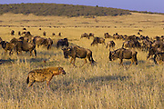 Spotted Hyena<br /> Crocuta crocuta<br /> Bloody from feeding, watching wildebeest<br /> Masai Mara Conservancy, Kenya