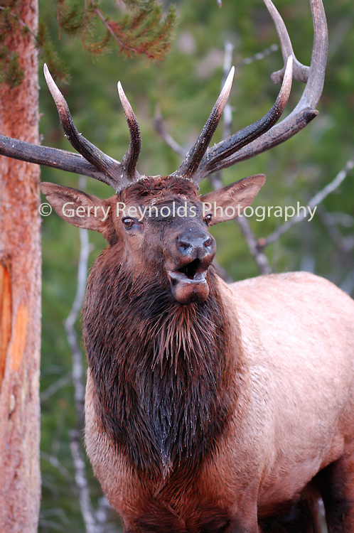 Bull Elk, Bull and Cow Elk, Cow Elk, Elk, Yellowstone, Yellowstone National Park, Wyoming