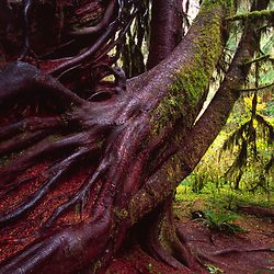 Hoh Rain Forest, Olympic National Park, Washington, US