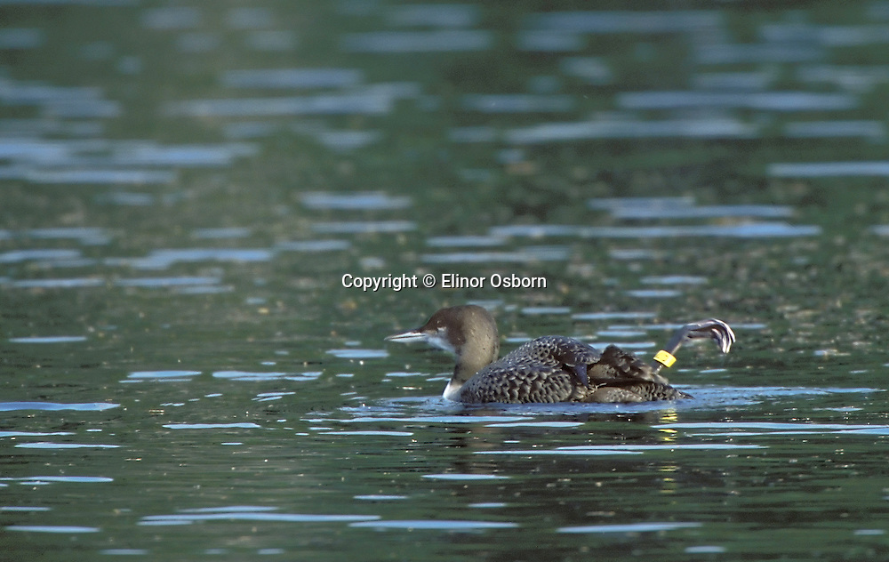 Common Loon. Ten-week-old chick. Banded by Vermont Loon Recovery Project.