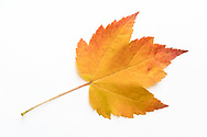 An orange Sugar maple (Acer saccharum) leaf showing fall foliage colours on a white background