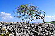 A wind-sculpted Ash (Fraxinus excelsior) tree in the limestone pavement at Newbiggin Crags, South Cumbria. This well-developed pavement features rounded-edged blocks known as 'rundkarren', with prominent drainage runnels and small rounded dissolution pits known as 'trittkarren'.<br />