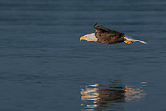 Bald eagle glides low over smooth ocean water in early morning light, © 2005 David A. Ponton