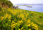 0902-1010 ~ Copyright:  George H.H. Huey ~ Hay Island Preserve, Seal Bay, Vinalhaven Island, with goldenrod in bloom [Solidago graminifolia].  Autumn.  Penobscot Bay,  Maine.