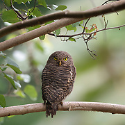 The Asian barred owlet (Glaucidium cuculoides) is a species of true owl, resident in northern parts of the Indian Subcontinent and parts of Southeast Asia.