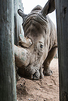 White Rhino in Rehabilitation Center, Kruger National Park, Limpopo, South Africa