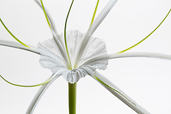 Hymenocallis-Beach Spider Lily#7