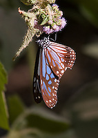 Blue Tiger Butterfly (Tirumala limniace) on a flower