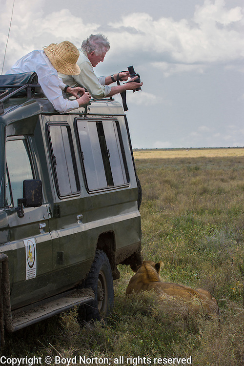 Safari visitors photograph a lioness at close range, Serengeti National Park, Tanzania