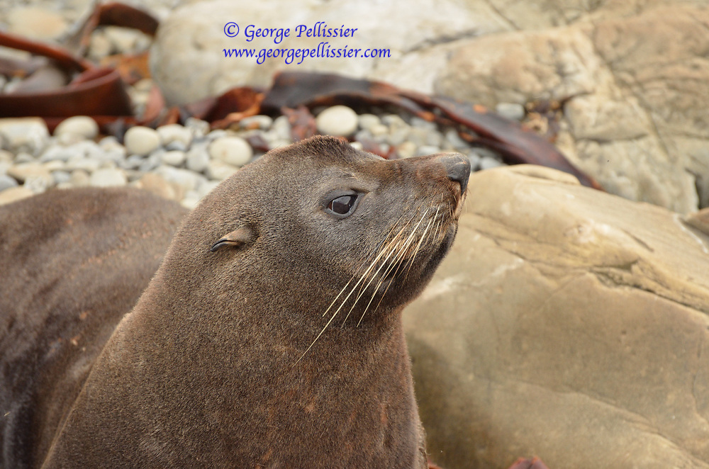 A New Zealand Fur Seal (Arctocephalus forsteri) outside of Kaikoura, New Zealand.