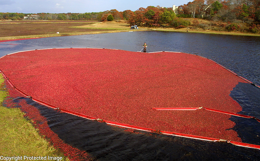 A cranberry harvester corals cranberries in a flooded bog using booms in Yarmouth, MA.