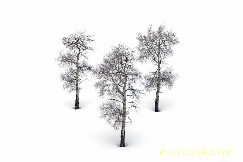Three trees in snow; Yellowstone NP.